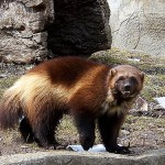 WOLVERINES